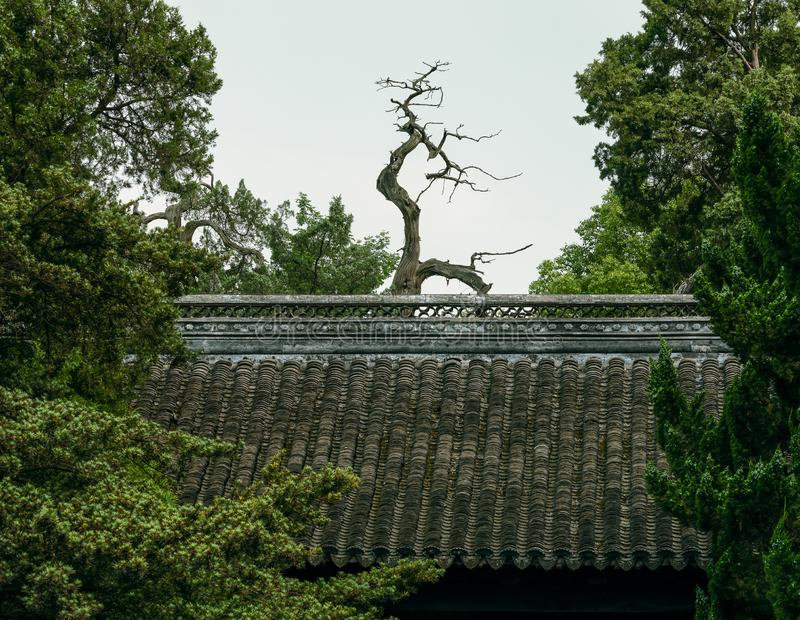 A dead cypress tree and the roof with traditional tiles at Confucian Temple in Jiading, Shanghai. A dead cypress tree and the roof with traditional tiles stock images
