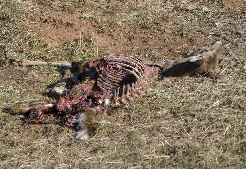 Dead deer skeleton picked clean by vultures royalty free stock photography