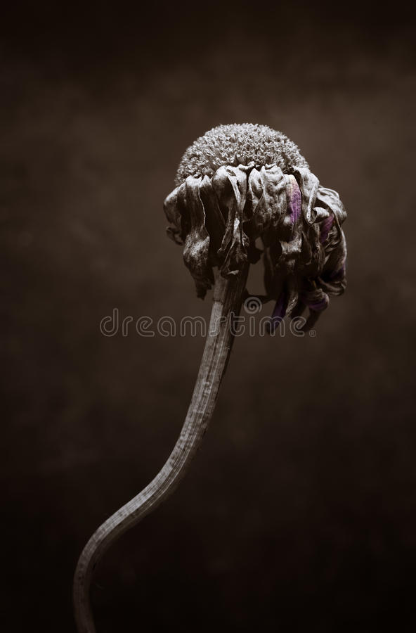 Dead dried flower decay stock image