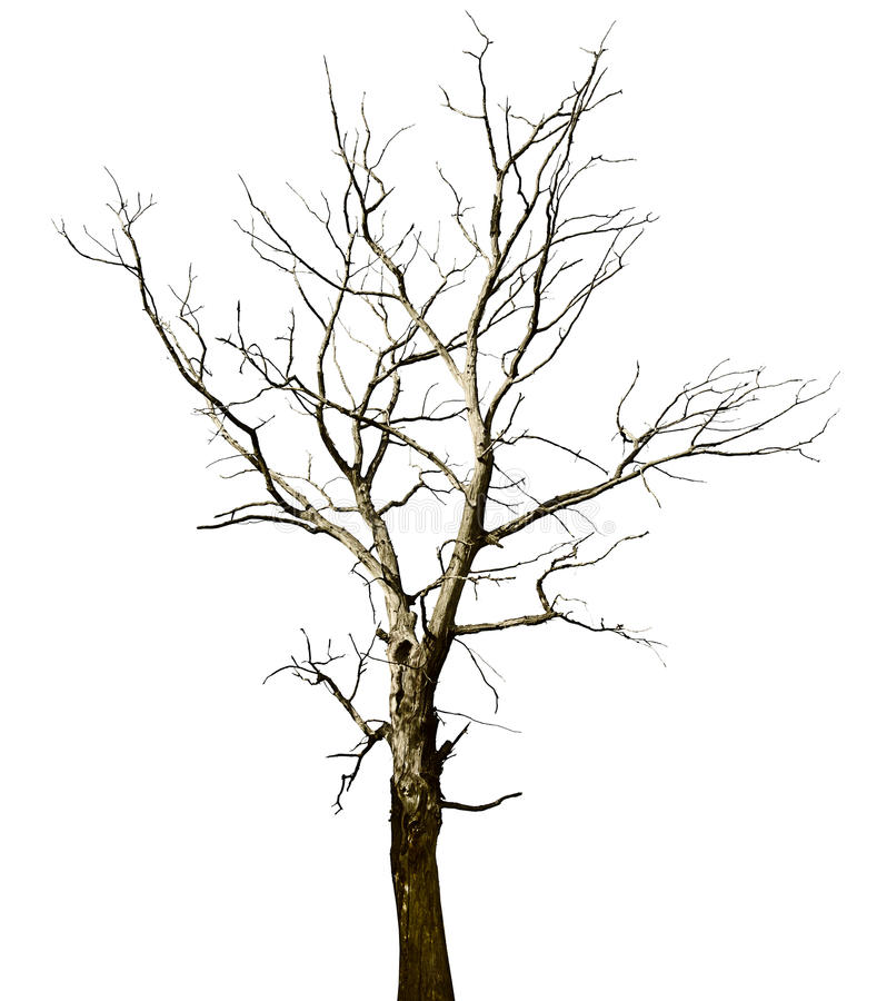 Free Dead Dried Oak Tree Isolated On White Stock Photos - 23579973