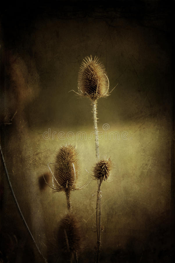 Dead and dried thistles stock images