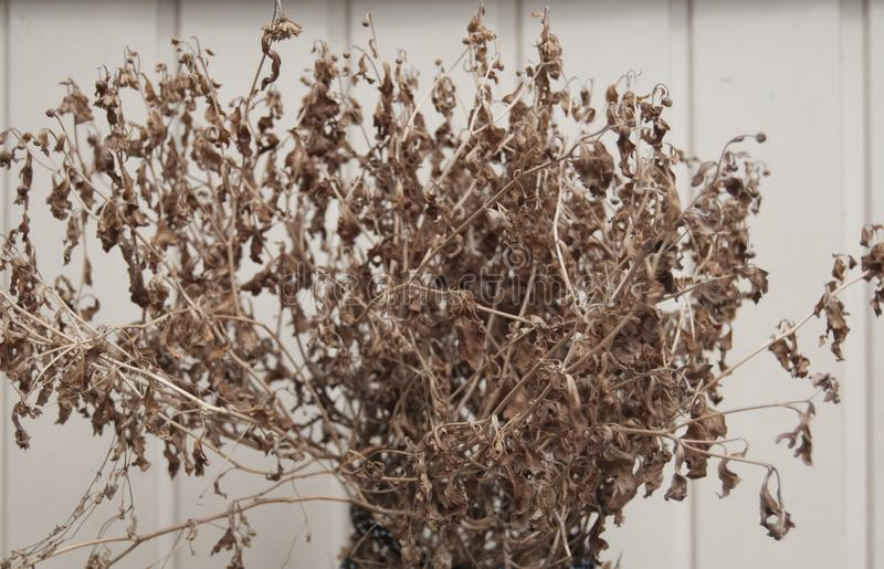 A dead, dried up bush of flowers. The symbol of the end of life stock photo