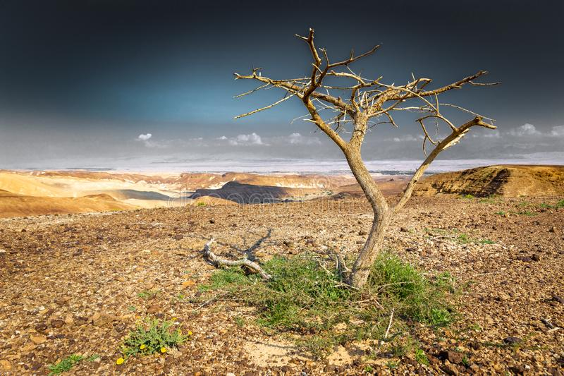 Dead dry desert tree plant arid landscape. Dead dry tree plant desert arid landscape view, Arava district, Negev, Israel royalty free stock images