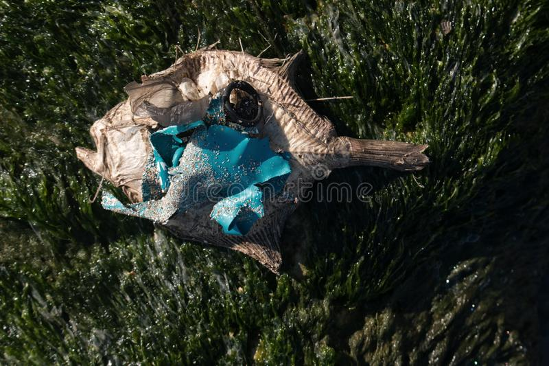 Dead dry fish on a seashell beach in Black sea. Sea pollution toxic plastic garbage stock images