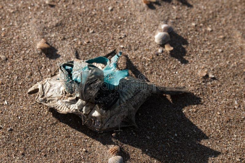 Dead dry fish on a seashell beach in Black sea. Sea pollution toxic plastic garbage stock photos