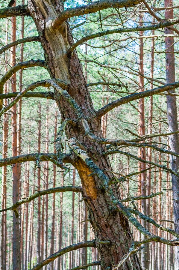 Dead dry rotten pine tree standing slanted leaning on other pine trees in amazing evergreen forest royalty free stock images