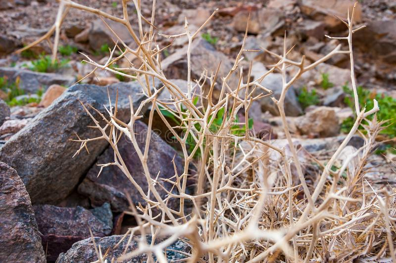 Dead dry thorns of plant in Eilat desert. In Israel royalty free stock photos