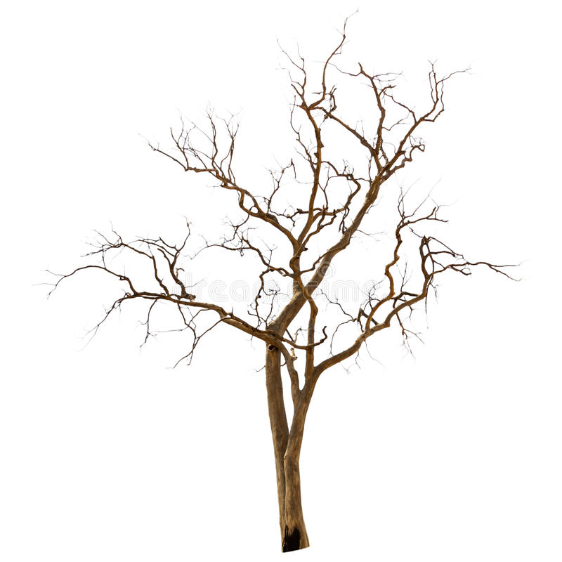 Dead and dry tree. Is isolated on white background royalty free stock photo