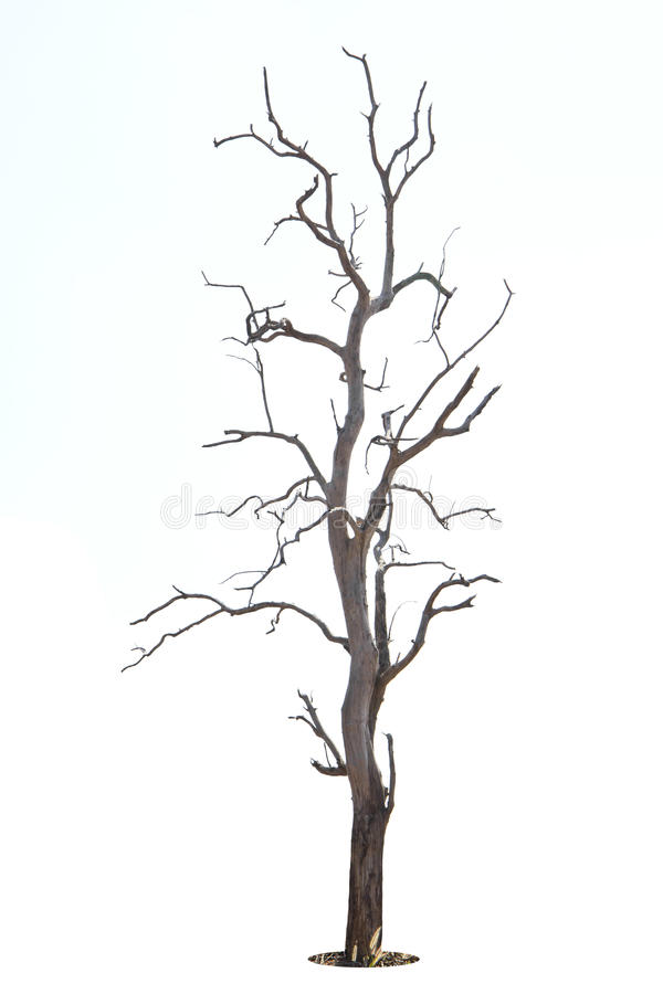 Dead and dry tree is isolated on white background stock images