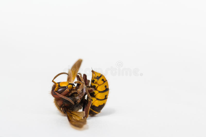 Dead European Hornet. In North Carolina. This large hornet is roughly 1 inch long. Vespa crabro. Largest vespine found in United States stock images
