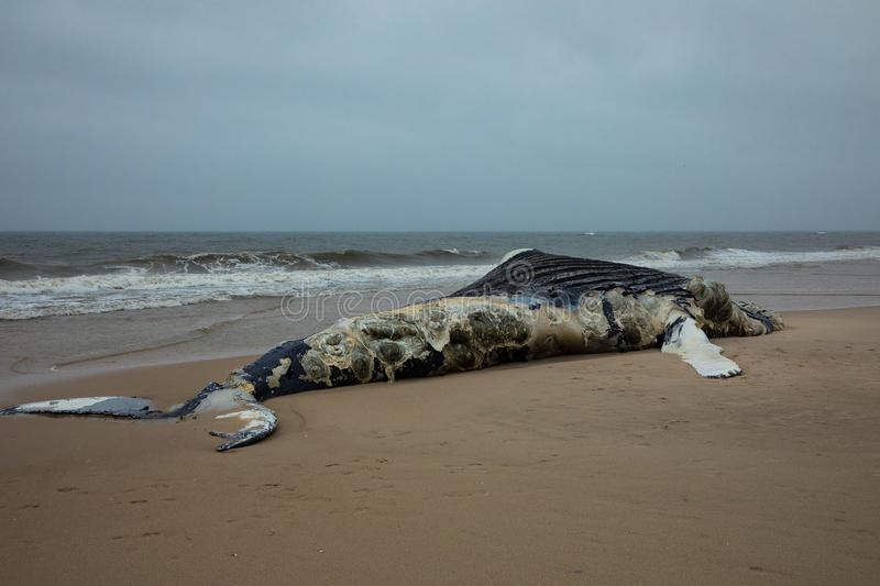 Dead Female Humpback Whale on Fire Island, Long Island, Beach, with Sand in Foreground and Atlantic Ocean in Background stock photos