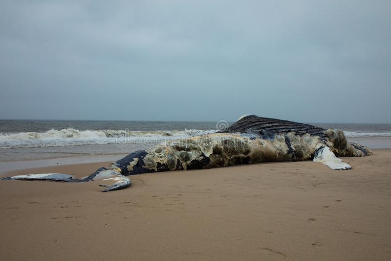 Dead Female Humpback Whale on Fire Island, Long Island, Beach, with Sand in Foreground and Atlantic Ocean in Background. Side view showing tail and dorsal fin of stock image