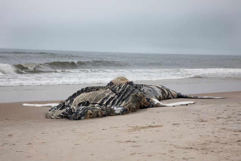 Dead Female Humpback Whale including Tail and Dorsal Fins on Fire Island, Long Island, Beach, with Sand in Foreground and Atlantic. Front Side View of Dead stock photo