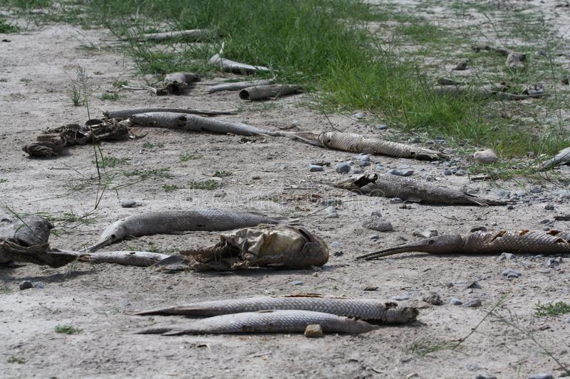 Download Dead Fish Drought Tom Green County Texas Editorial Stock Photo - Image of thirst, desert: 27593163