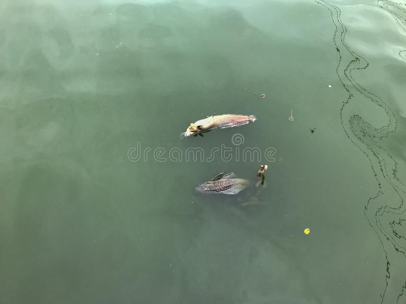 Dead fish and green waste water surface pollution royalty free stock photography