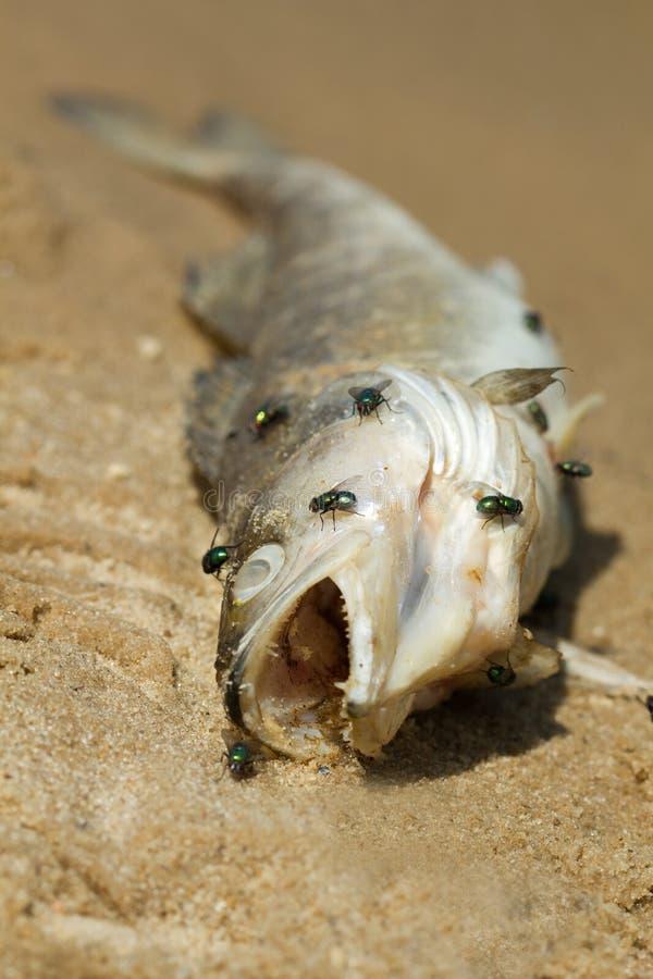 Download Dead fish stock photo. Image of perch, coast, kill, dead - 31095258