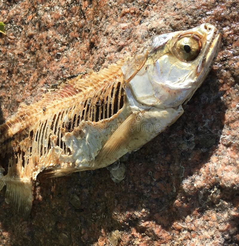 Dead fish on rocks with bones royalty free stock image