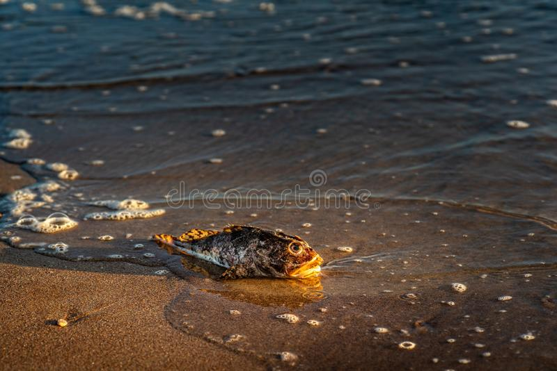 Dead fish shorthorn sculpin on a seashore sand royalty free stock photo