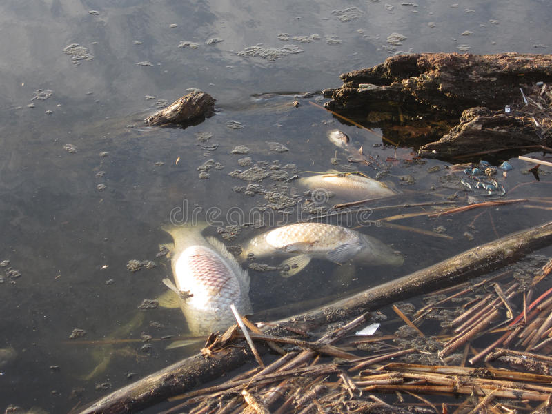 Dead Fish. Three dead fish floating in water stock photo