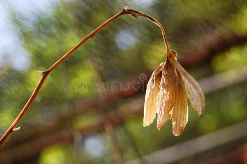 Dead flower in garden. Photo take on 2015 royalty free stock images