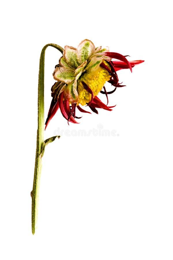 Dead flower head. Side view of dead flower head stock images