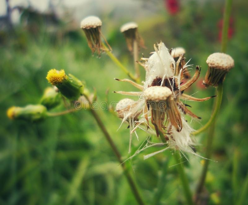 Dead flowers with cobwebs on top. Dead yellow and brown flowers with cobwebs on top. Country: Colombia stock photography