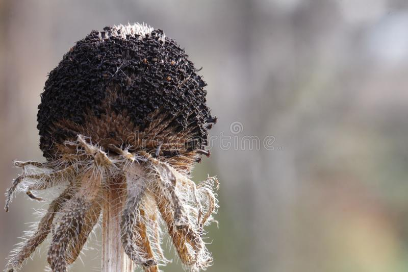 Dead flowers. Dry dead flowers sad plant royalty free stock photos