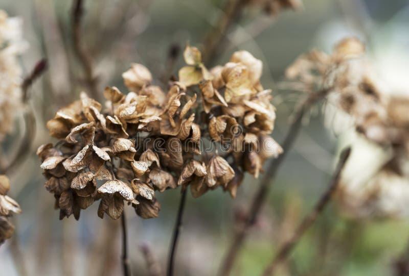 Dead flowers of the hydrangea. Dead flowers in winter from the hydrangea stock photography