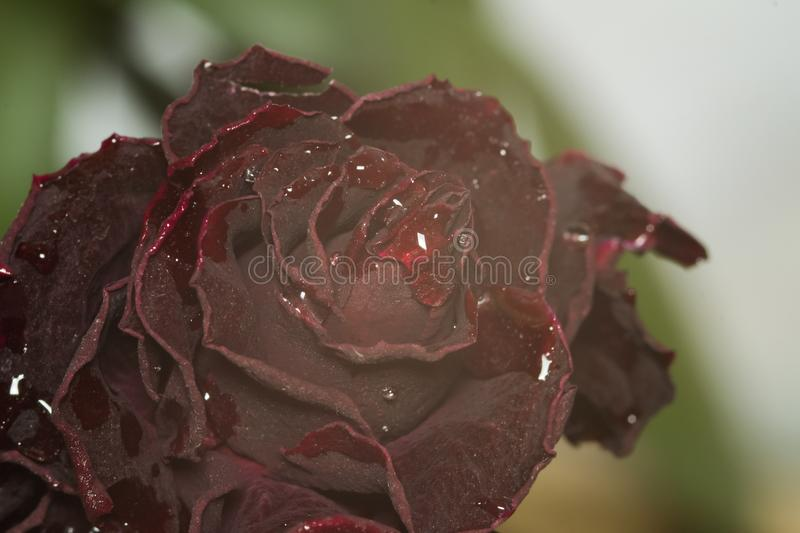 Dead flowers macro royalty free stock photography