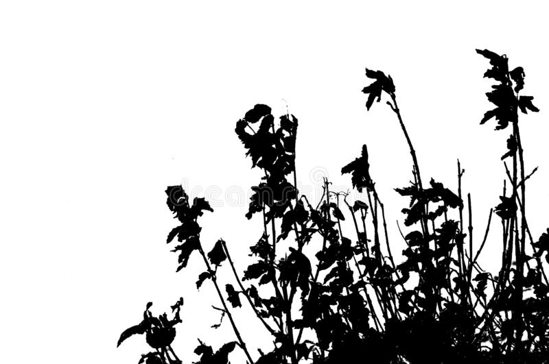 Dead flowers silhouetted against white stock photo