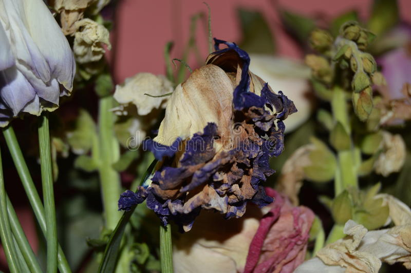 Dead flowers. Withered flowers retaining their beauty royalty free stock photography