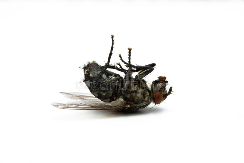 Dead fly royalty free stock images