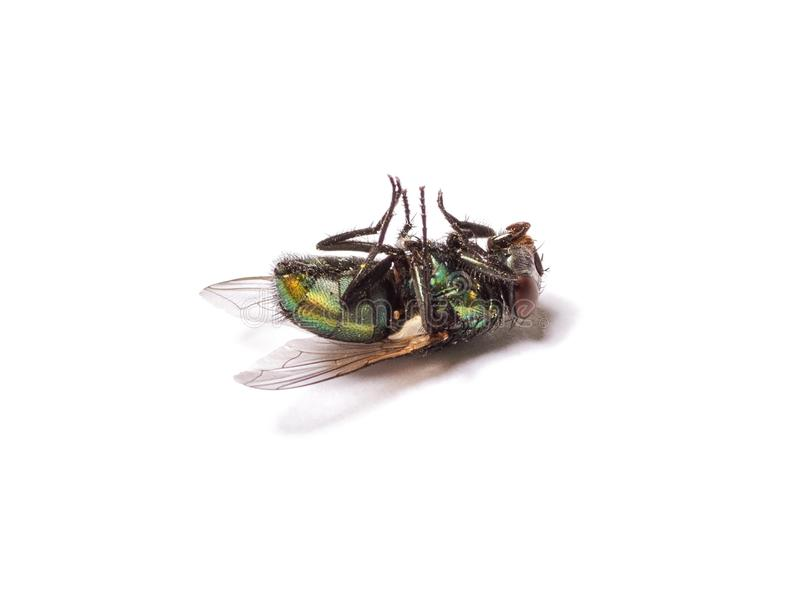 Dead fly isolated on white background. Biology, toxic and exterminator concept stock photo