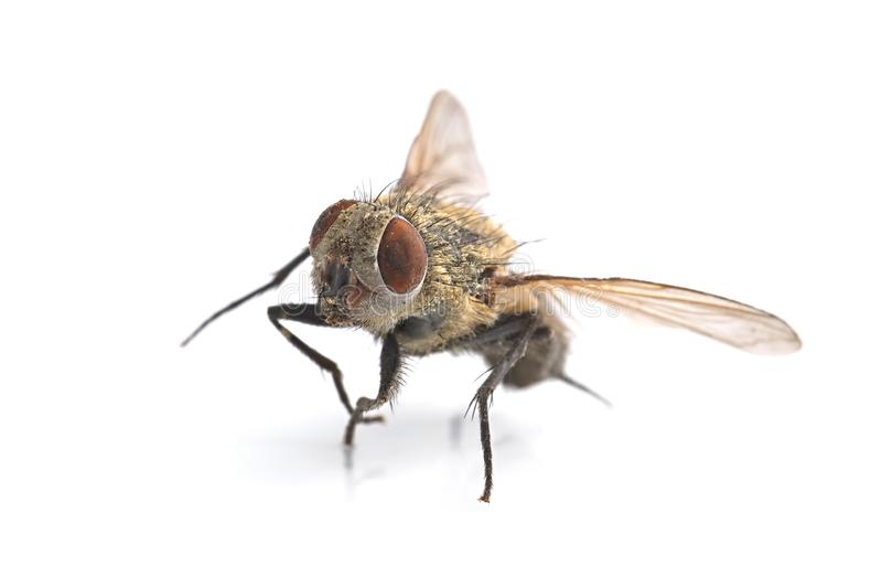 Dead Fly Macro royalty free stock photography