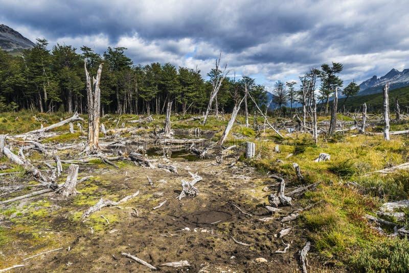 Dead forest Argentina stock photos