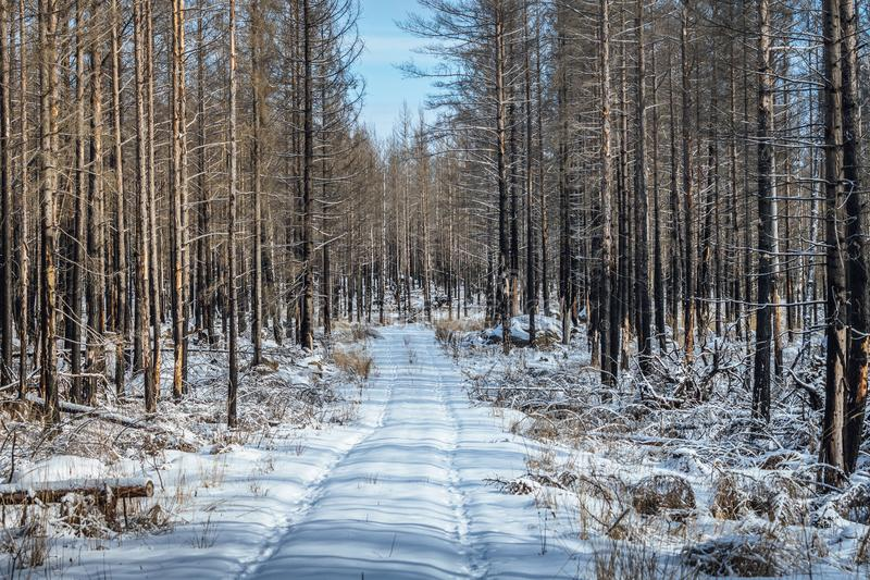 Dead forest in winter. View of a dead forest with burned trees in winter time after a great forest fire in Sweden royalty free stock images