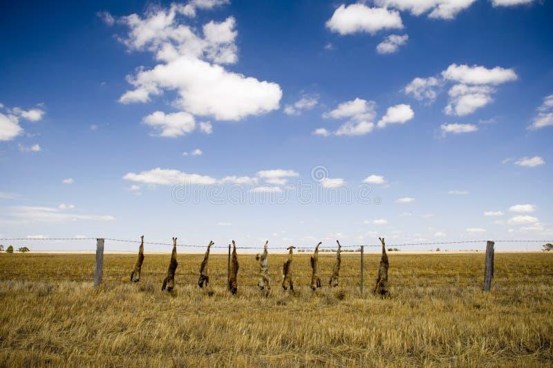 Dead Fox. Es hung along a fence line in rural Australia stock photo