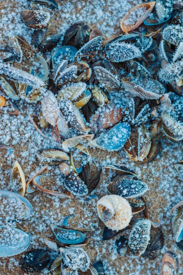 Dead frosted shells on the shores of Peipsi lake. Estonia, beautiful sea styled background royalty free stock images