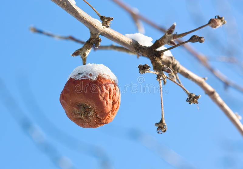 Download Dead frozen apple stock image. Image of stem, season - 12126191