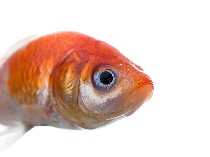 Dead gold fish macro side view royalty free stock photo