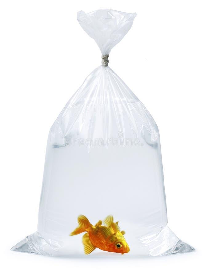 Download Dead Goldfish Plastic bag stock photo. Image of ecosystem - 3470672