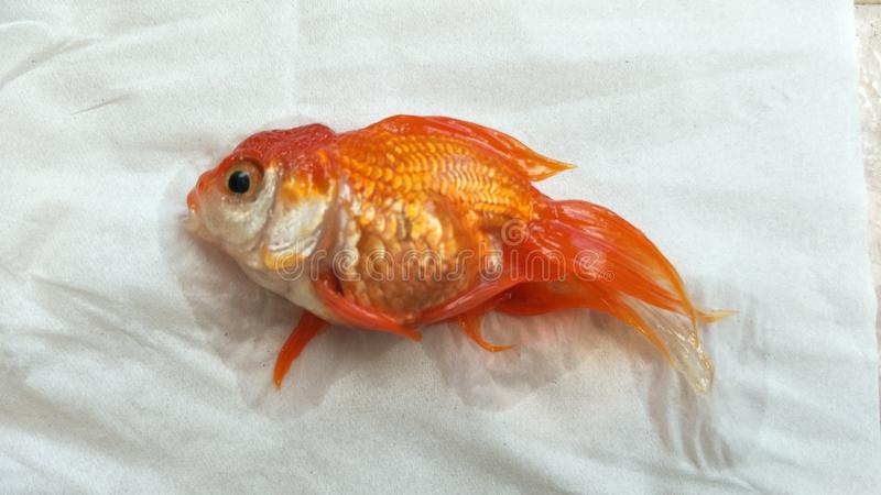 Dead guldfisk royaltyfri foto