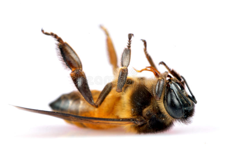 Dead Honey Bee Stock Photos