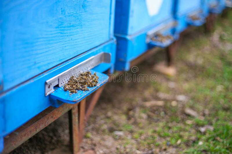 Dead honey bees - poisoned by pesticides royalty free stock photography