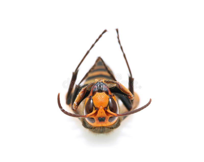 Download Dead hornet stock photo. Image of legs, environmental - 25370072