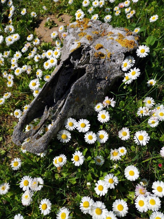 Dead horse skull cranium on meadow and summer flowers. Dead horse skull cranium on meadow and white summer flowers stock photos