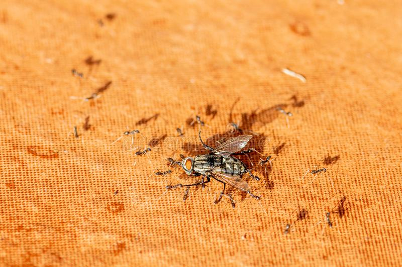 Dead house fly being carried by ants to their nest. For lunch stock photo