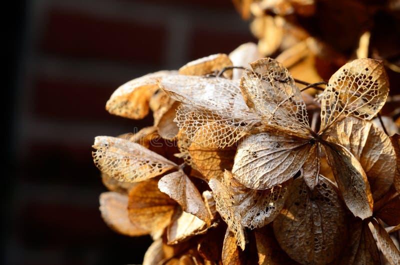 Hydrangea flowers in winter royalty free stock photos