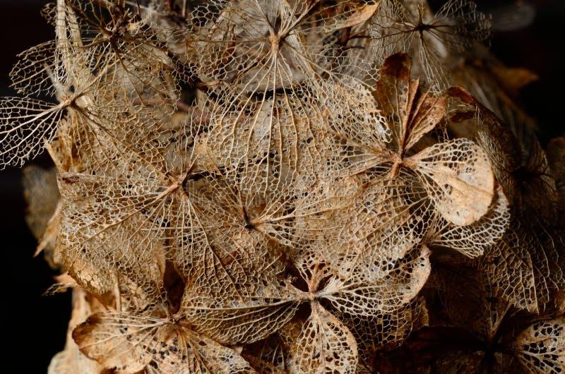 Dead hydrangea flowers stock photography