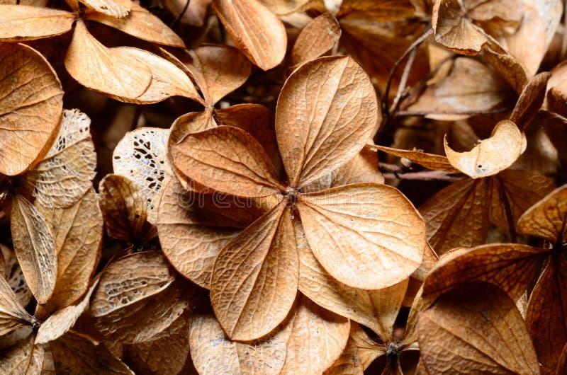 Dead hydrangea flowers. In winter royalty free stock photo